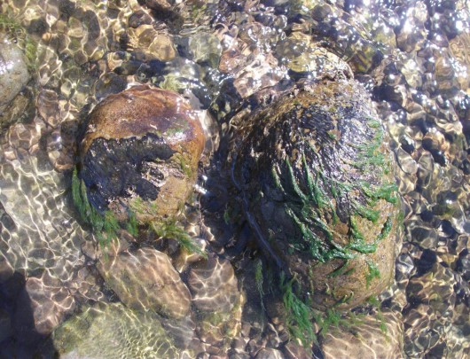 Benthic cyanobacteria