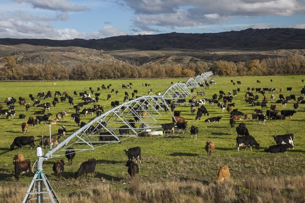 Irrigation with cows